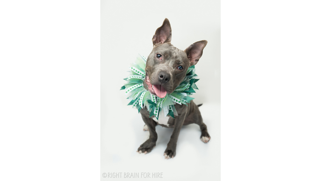 East Bay SPCA reduces pit bull adoption fee for