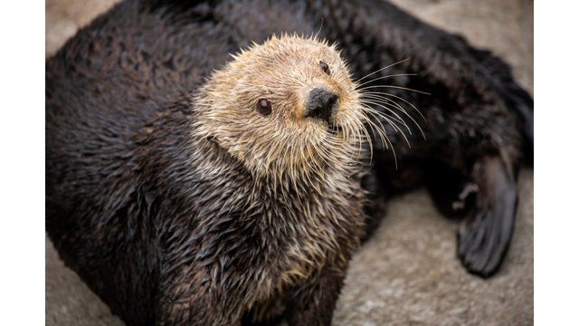 One sad thing: Monterey Bay Aquarium loses beloved sea otter