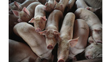 Woman reportedly eaten alive by pigs after suffering seizure, collapsing into pig pen
