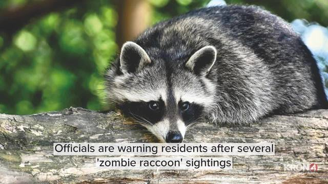 Officials warn of 'zombie raccoons' after reported sightings